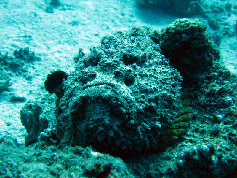 Echte Steenvis | Stonefish | Synanceia verrucosa | Fanous Oost | 20-09-2009