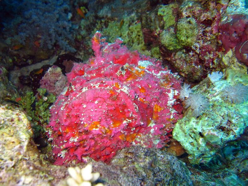 Echte Steenvis | Stonefish | Synanceia verrcosa | Shaab Ayman | 23-01-2011