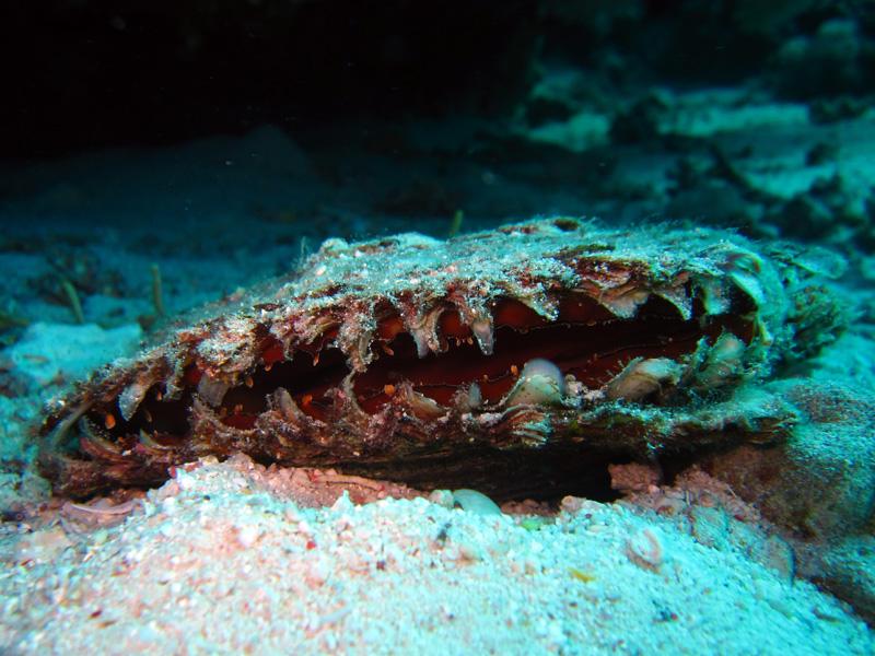 Echte pareloester   Black-lip pearl oyster   Pinctada margaritifera   Gota Abu Ramada Oost   24-01-2011