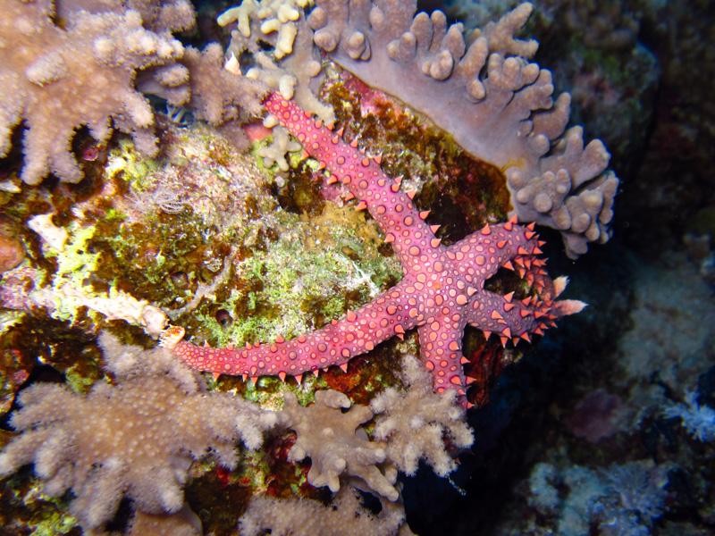 Egyptische zeester | Egyptian Starfish | Gomophia egyptiaca | Abu Ramada Noord | 22-09-2009