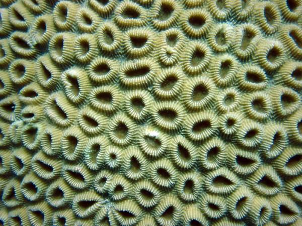 Honingraatkoraal   Honeycomb coral   Favia favus   Shaab Sabina   25-03-2010