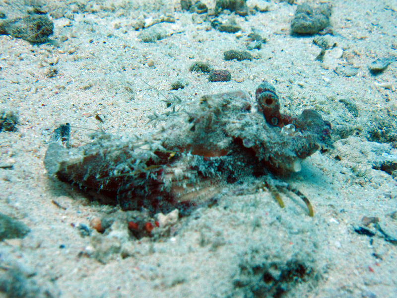 Filamentduivelvis   Filamented devilfish   Inimicus filamentosus   Abu Ramada Zuid   26-06-2010