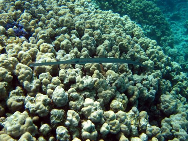 Fluitvis | Smooth cornerfish | Fistularia commersonii | Abu Ramada Zuid | 15-09-2009