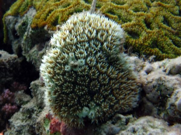 Kristalkoraal | Crystal coral | Galaxea fascicularis | Fanadir Noord | 23-03-2010