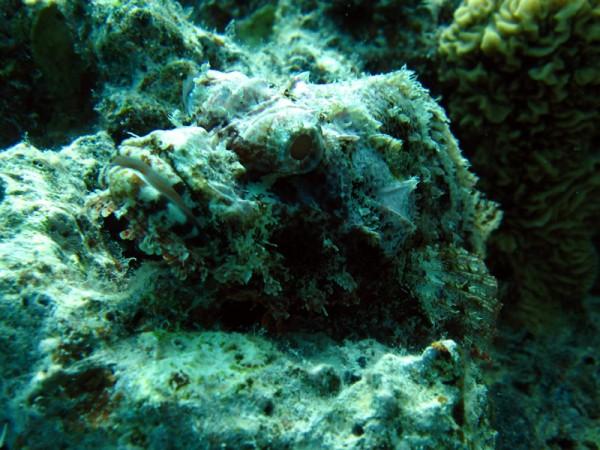 Gebaarde schorpioenvis   Bearded scorpionfish   Scorpaenopsis barbatus   Erg Abu Ramada Oost   25-06-2010