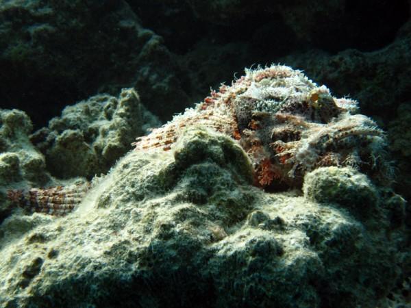 Gebaarde schorpioenvis | Bearded scorpionfish | Scorpaenopsis barbatus | Fanadir Noord | 23-03-2010