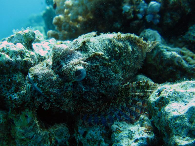 Gebaarde schorpioenvis | Bearded scorpionfish | Scorpaenopsis barbatus | Gota Abu Ramada Oost | 28-06-2010