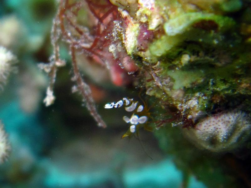 Gedrongen poetsgarnaal | Sexy anemone shrimp | Thor amboinensis | Abu Ramada Zuid | 26-06-2010