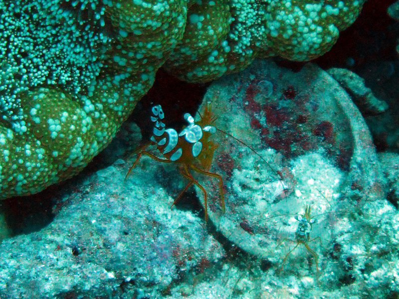 Gedrongen poetsgarnaal | Sexy anemone shrimp | Thor amboinensis | Fanadir Zuid | 23-03-2010