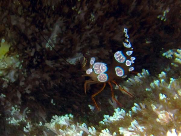 Gedrongen poetsgarnaal | Sexy anemone shrimp | Thor amboinensis | Sachwa Abu Galawa (Snorkeltrip) | 29-06-2010