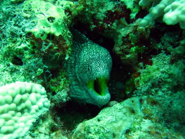 Geelbekmurene | Yellowmouth moray | Gymnothorax nudivomer | Fanadir Zuid | 24-06-2010