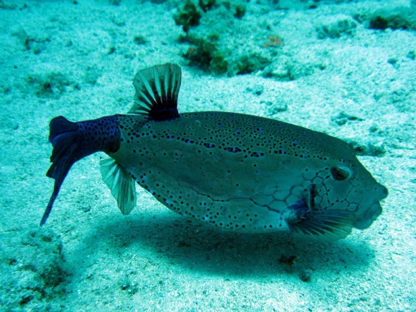 Geelbruine koffervis | Yellow boxfish | Ostracion cubicus | Fanadir Noord | 27-06-2010