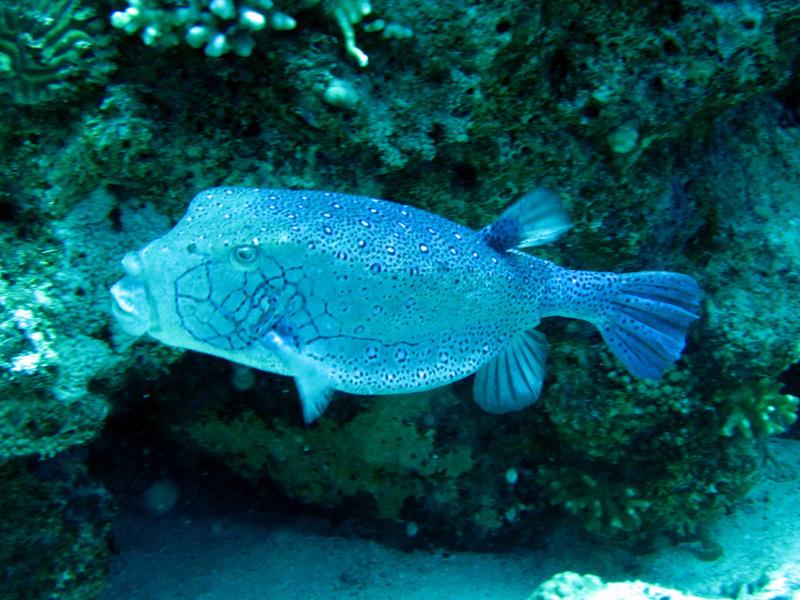 Geelbruine koffervis   Yellow boxfish   Ostracion cubicus   Small Giftun   28-06-2010