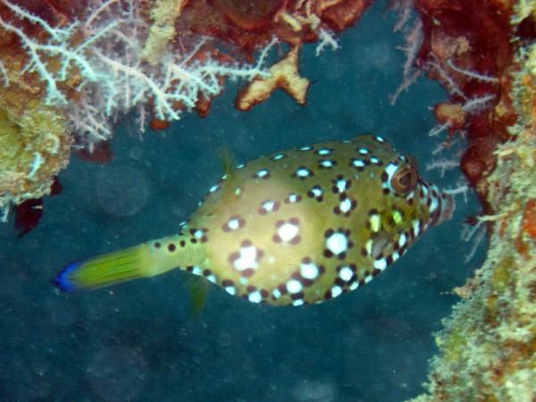 Geelbruine koffervis (juv) | Yellow boxfish | Ostracion cubicus | Balena | 14-09-2009