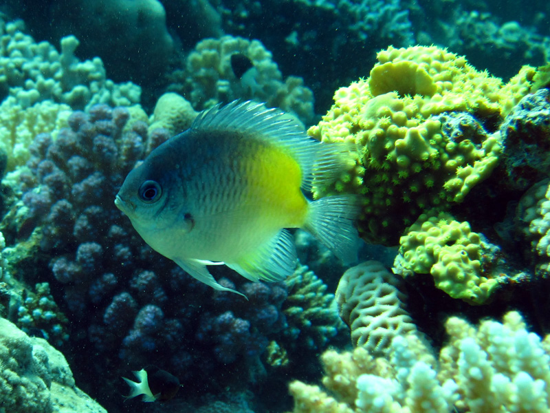 Geelflankjuffertje | Yellow-side damselfish | Amblyglyphidodon flavilatus | Shaab Alex | 21-09-2009