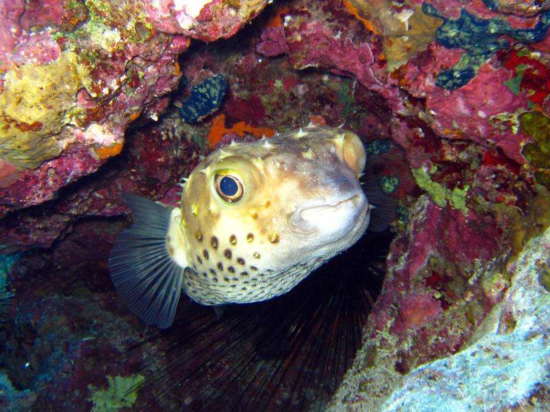 Geelgevlekte egelvis | Shaabrurh Umm Gamar | 21-01-2011