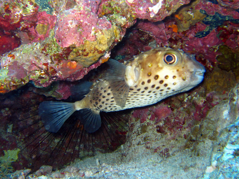Geelgevlekte egelvis   Yellowspotted burrfish   Cyclichthys spilostylus   Shaabrurh Umm Gamar   21-01-2011