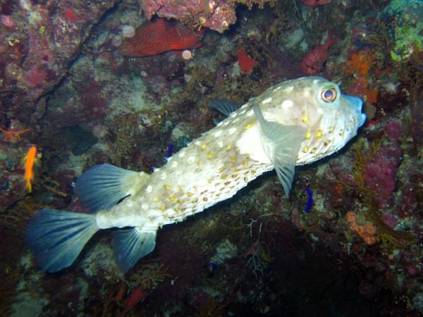 Geelgevlekte egelvis   Yellowspotted burrfish   Cyclichthys spilostylus   Umm Gamar   21-01-2011