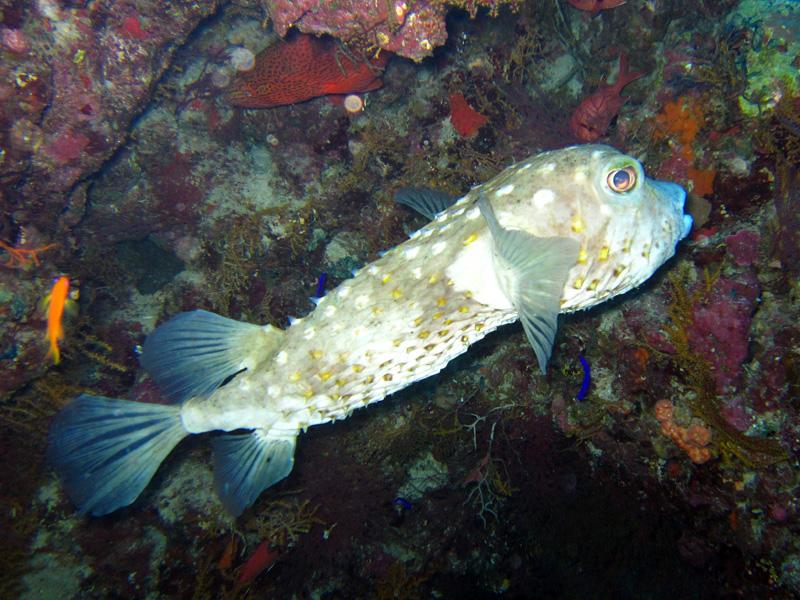 Geelgevlekte egelvis | Yellowspotted burrfish | Cyclichthys spilostylus | Umm Gamar | 21-01-2011