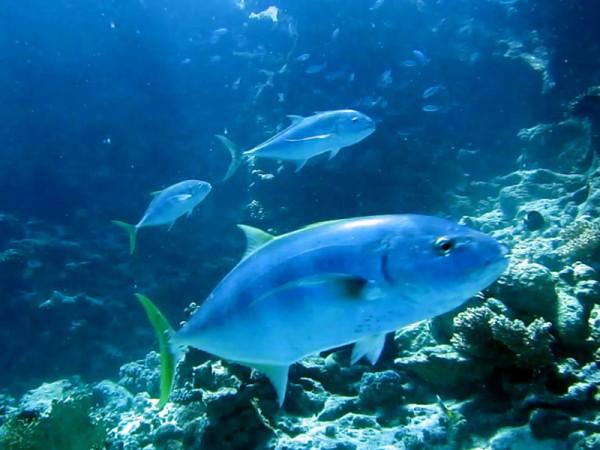 Geelgevlekte makreel | Geelgevlekte makreel | Yellow-dotted trevally | Carangoides fulvogattatus | Abu Ramada Noord | 22-09-2009