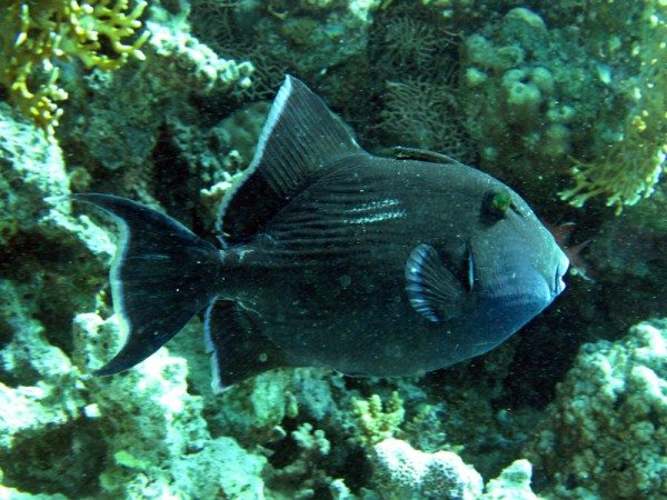 Geelrandtrekkervis   Yellowmargin triggerfish   pseudobalistes flavimarginatus   Shaab el Erg   20-09-2009