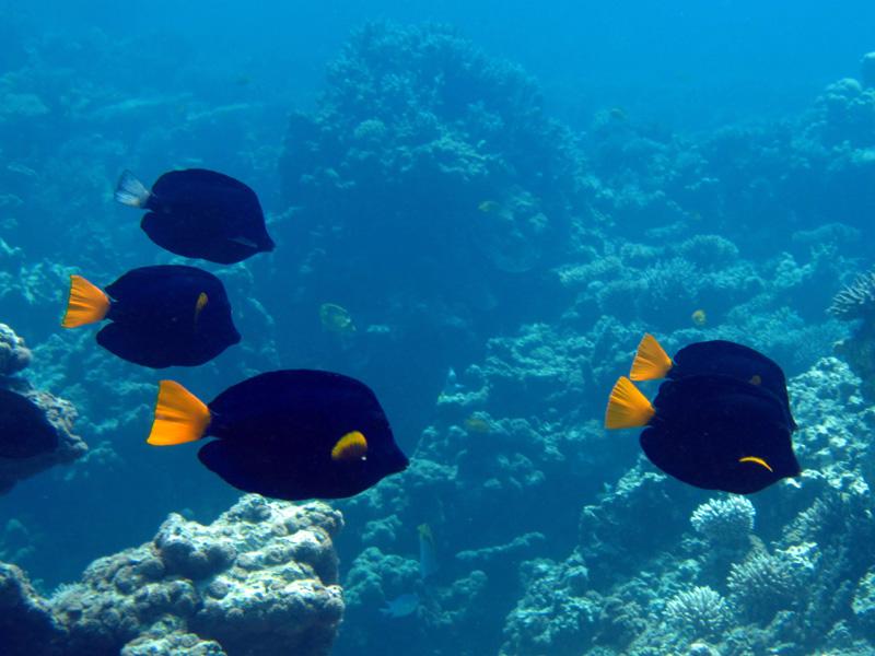 Geelstaart-zeilvindoktervissen | Yellowtail tang | Zebrasoma xanthurum | Turtle Bay | 27-06-2010