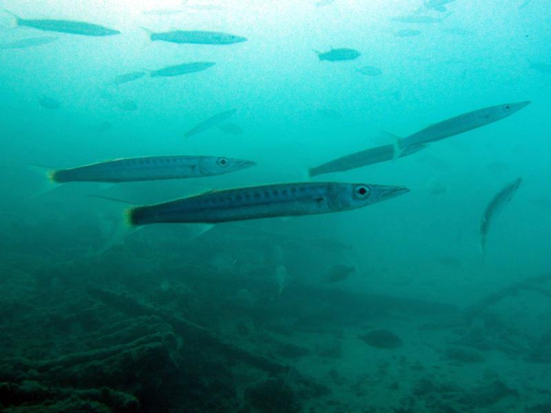 Geelstaartbarracuda | Yellowtail barracuda | Sphyraena flavicauda | Balena | 14-09-2009