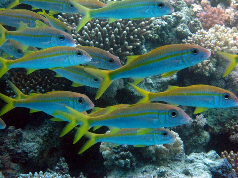 Geelvinbarbeel | Yellowfin goatfish | Mulloidichthys vanicolensis | Small Giftun | 17-09-2009