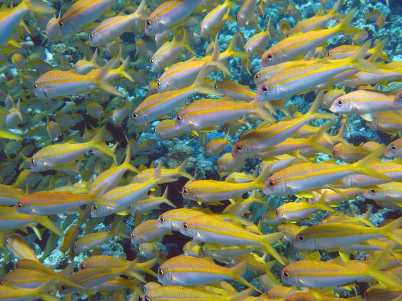 Geelvinbarbelen | Yellowfin goatfish | Mulloidichthys vanicolensis | Gota Abu Ramada Oost | 26-03-2010