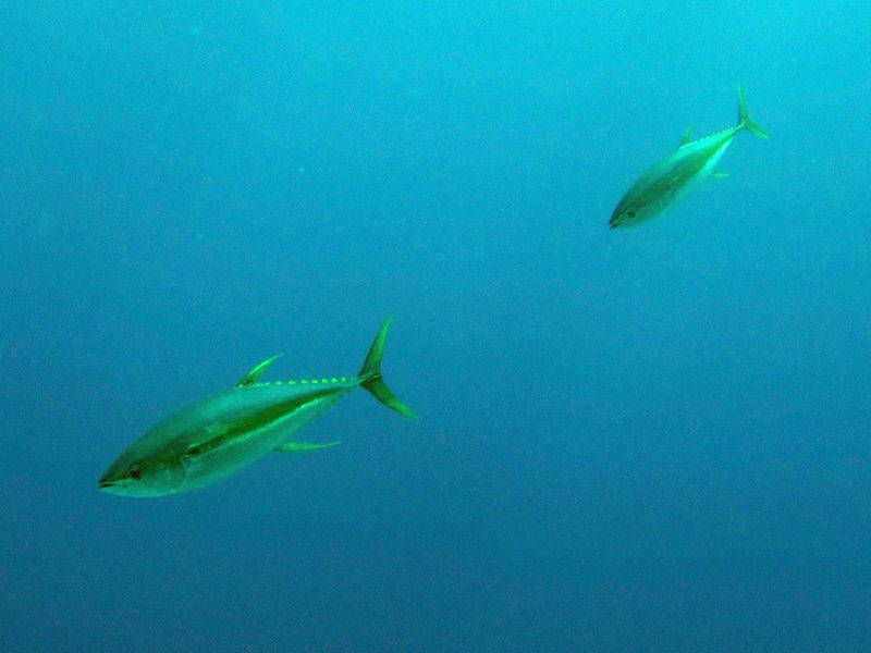 Geelvintonijn | Yellowfin tuna | Thunnus albacares | Erg Abu Ramada > Cave Abu Ramada | 24-03-2010