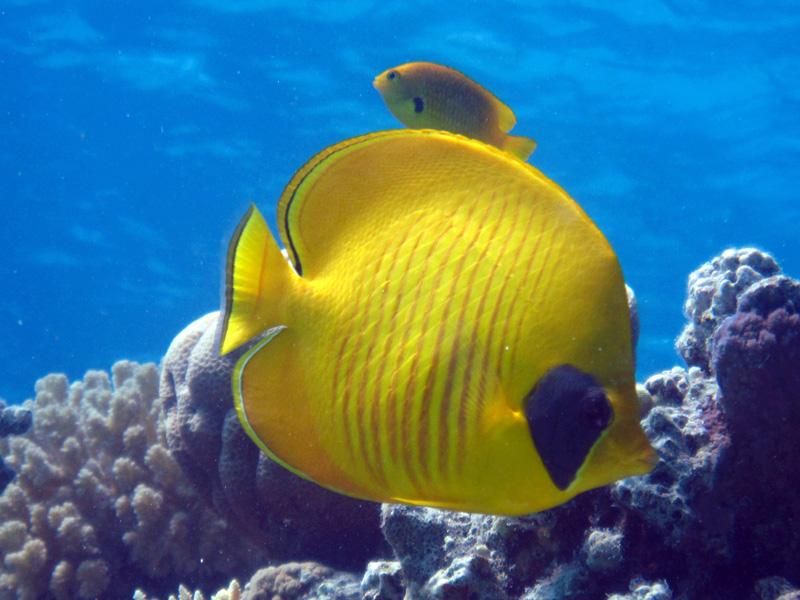 Gele koraalvlinder | Masked butterflyfish | Chaetodon semilarvatus | Abu Hashees | 18-09-2009