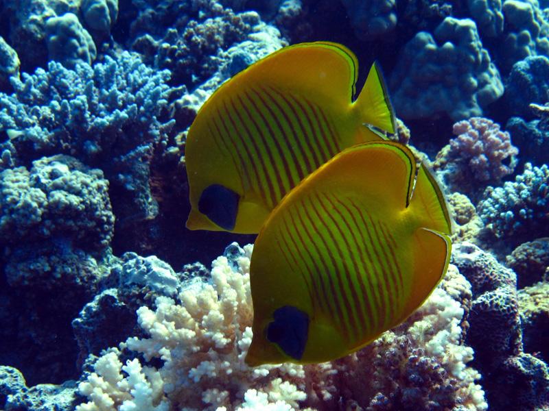 Gele koraalvlinder | Masked butterflyfish | Chaetodon semilarvatus | Gota Abu Ramada | 15-09-2009