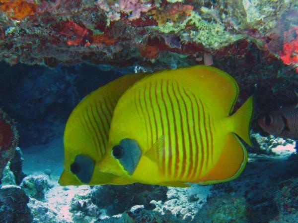 Gele koraalvlinder   Masked butterflyfish   Chaetodon semilarvatus   Bananareef   25-03-2010