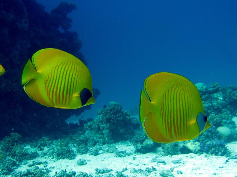 Gele koraalvinder | Masked butterflyfish | Chaetodon semilarvatus | Gota Abu Ramada West | 24-01-2011