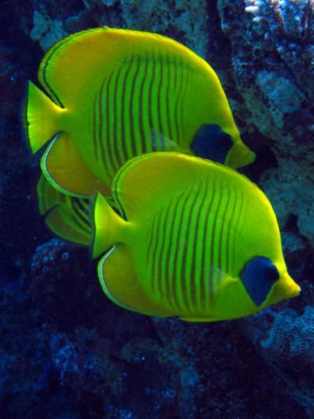 Gele koraalvlinders   Masked butterflyfish   Chaetodon semilarvatus   Shaab Sabina   25-03-2010
