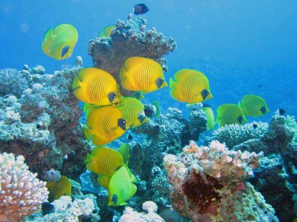 Gele koraalvlinders | Masked butterflyfish | Chaetodon semilarvatus | Shaab Sabina | 25-03-2010
