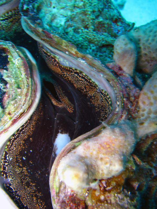 Geschubde doopvondschelp | Fluted giant clam | Tridacna squamosa | Gota Abu Ramada Oost | 24-01-2011