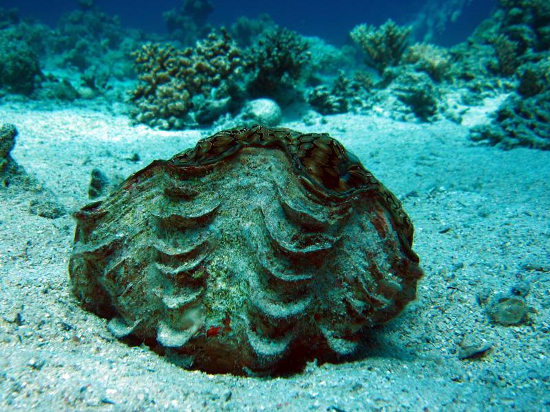 Geschubde doopvondschelp | Fluted giant clam | Tridacna squamosa | Shaab el Erg | 20-09-2009