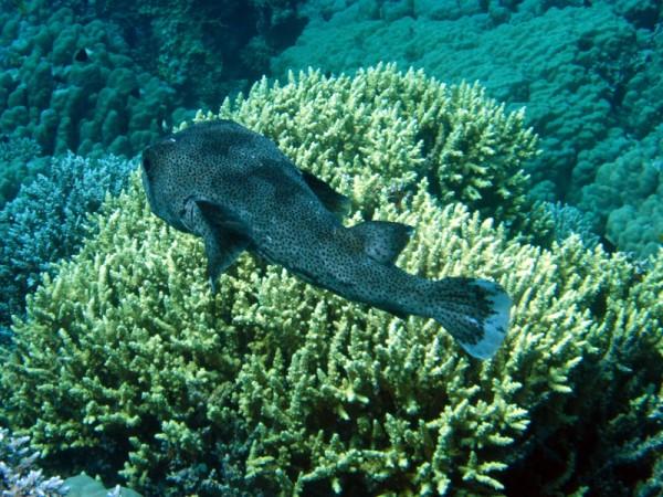 Gestippelde egelvis | Porcupinefish | Diodon hystrix | Shaab Sabina | 25-03-2010