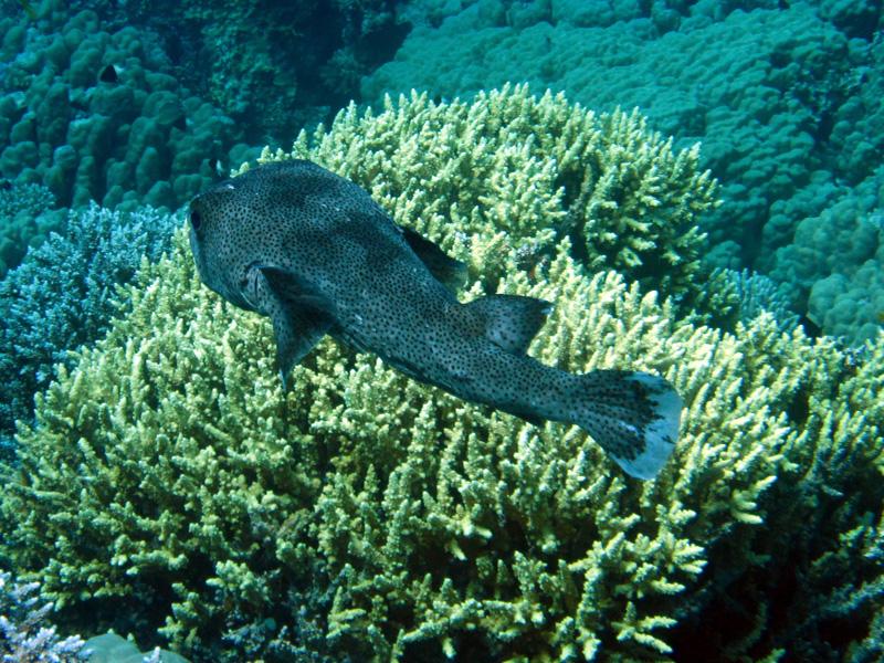 Gestippelde egelvis   Porcupinefish   Diodon hystrix   Shaab Sabina   25-03-2010