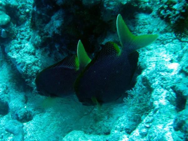 Gestippelde konijnvissen | Stellate rabbitfish | Siganus stellatus laqueus | Small Giftun | 28-06-2010