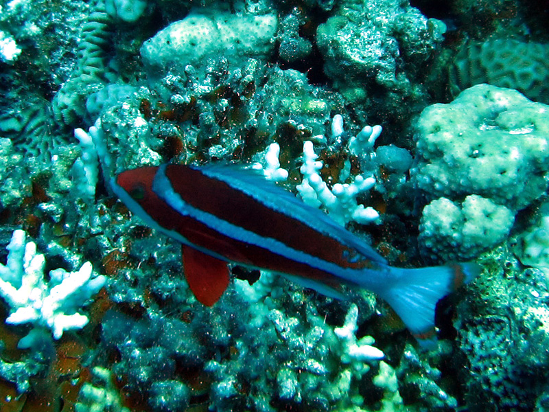 Gestreepte vlagbaars | Red Sea anthias | Pseudoanthias taeniatus | Bananareef | 08-05-2011