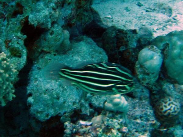 Zwartwit gestreepte zeepvis | Sixstriped soapfish | Grammistes sexlineatus | Fanous Oost | 22-01-2011
