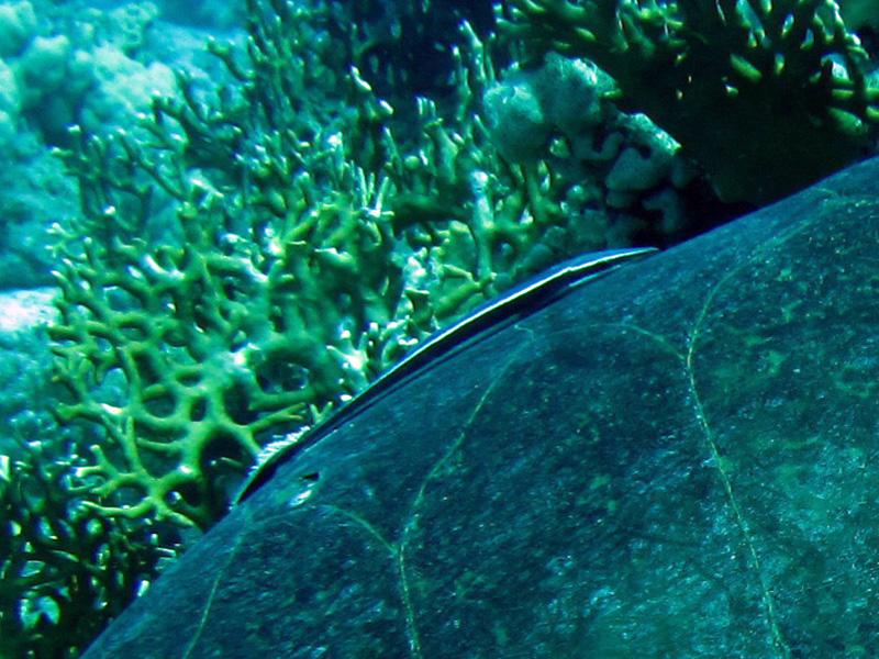 Gestreepte zuigvis | Sharksucker | Echeneis naucrates | Erg Abu Ramada > Cave Abu Ramada | 24-03-2010