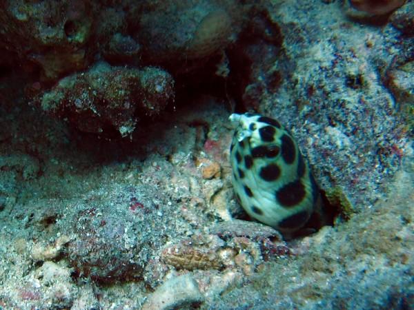Gevlekte Slangaal   Spotted snake eel   Myrichthys maculosus   Shaabrurh Umm Gamar   21-01-2011