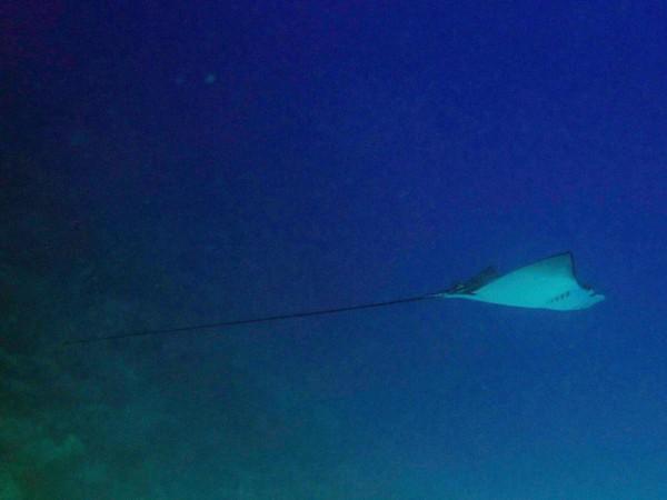 Gevlekte adelaarsrog | Spotted eagle ray | Aetobatis narinari | Ben El Gebel | 26-06-2010