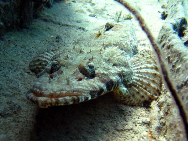 Gewone krokodilvis | Indian Ocean crocodilefish | Papilloculiceps longiceps | Abu Ramada Zuid | 22-03-2010