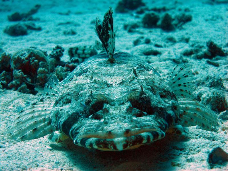 Gewone krokodilvis   Indian Ocean crocodilefish   Papilloculiceps longiceps   El Aruk Gigi   16-09-2009