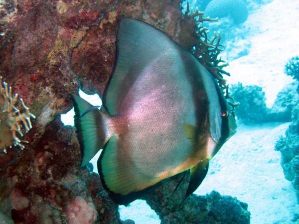 Gewone vleermuisvis   Orbicular spadefish   Platax orbicularis   Small Giftun   17-09-2009