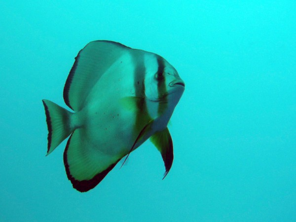 Gewone vleermuisvis | Orbicular spadefish | Platax orbicularis | Small Giftun | 23-09-2009